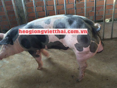 Heo Pietrain VTS_800