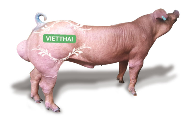 Heo đực Duroc VT-750S - Trại heo giống Việt Thái