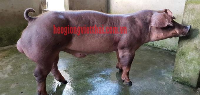 Heo đực Duroc VTS_750 - Trại heo giống Việt Thái