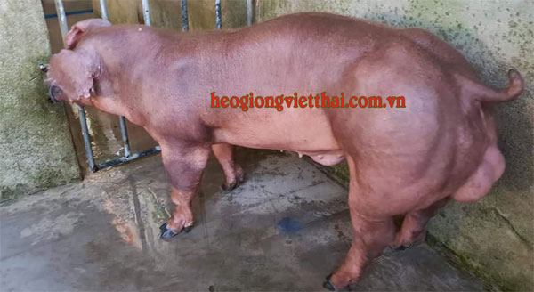 Heo đực Duroc VT_750S - Trại heo giống Việt Thái