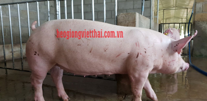 Heo Yorkshire VTS39 , Lợn Yorkshire VTS39, cung cấp heo giống yorkshire