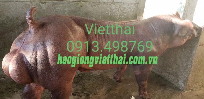 Trại heo nọc hậu bị - Trang trại heo giống Việt Thái