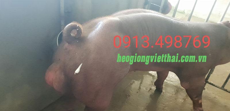 Heo đực Duroc VTS_750 - Trang trại Việt Thái