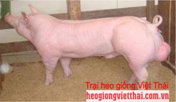 Heo Landrace VTS-201