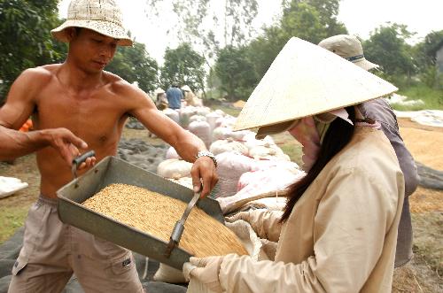 Nông dân trồng lúa phải lụy cò
